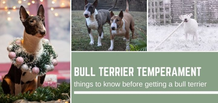 Bull Terrier Temperament