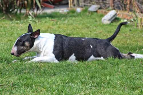 Bull terriers are not any more vicious or aggressive than any other breed