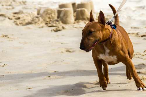 Bull Terriers are highly motivated, highly engaged with their surroundings, and genetically stubborn