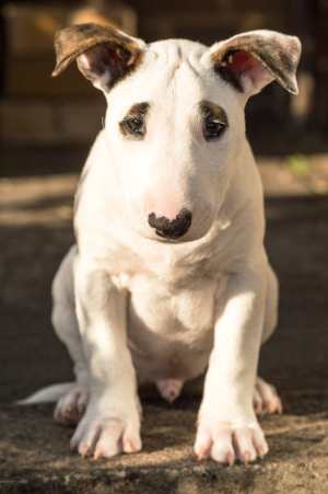 Bull Terriers are very powerful, strong dogs
