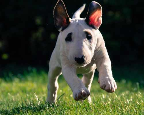 Bull terriers always have their own opinion about everything