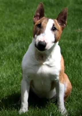 Bull terriers are very good with children, even really young ones