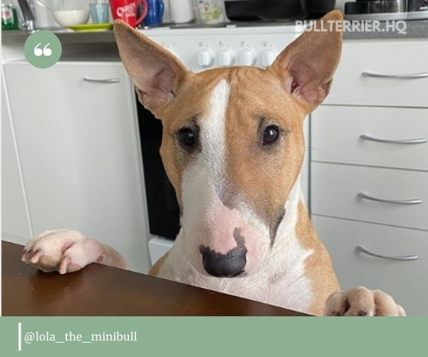 Miniature bull terrier: great thing in a small package