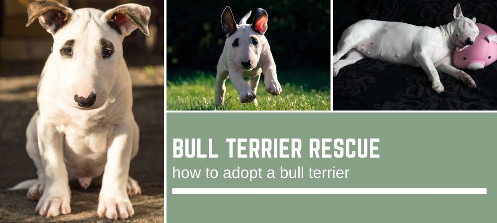 Bull Terrier Rescue And How To Go About Bull Terrier Adoption Bull Terrier Hq