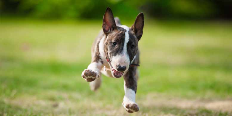 are bull terriers hypoallergenic