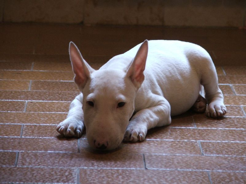 Bull terriers and dog allergy: how to live with a bull terrier if you are allergic