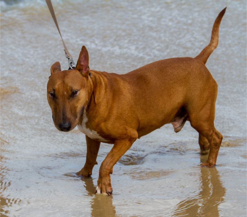 Bull terrier price: how much does a bull terrier cost?