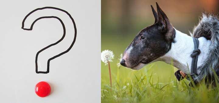 Bull terrier price: