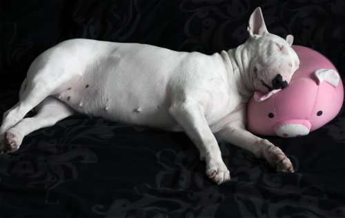 Bull terriers can and do end up in rescue organizations
