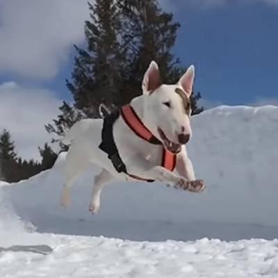 Bull Terrier mid-flight
