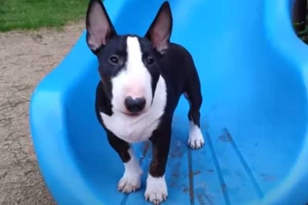 Bull terrier rescue in Texas