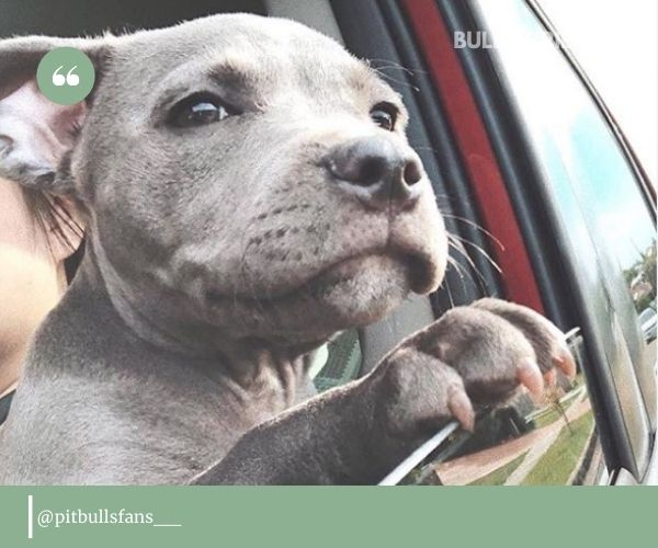 Staffordshire Bull Terrier - what you need to know