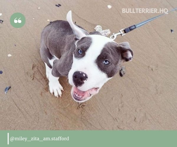 Staffordshire Bull Terrier at the beach