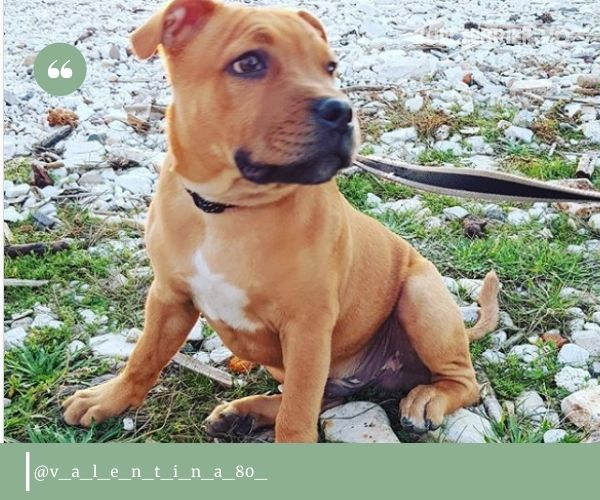 Staffordshire Bull Terrier red puppy