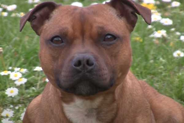Staffordshire Bull Terriers are a healthy breed in general