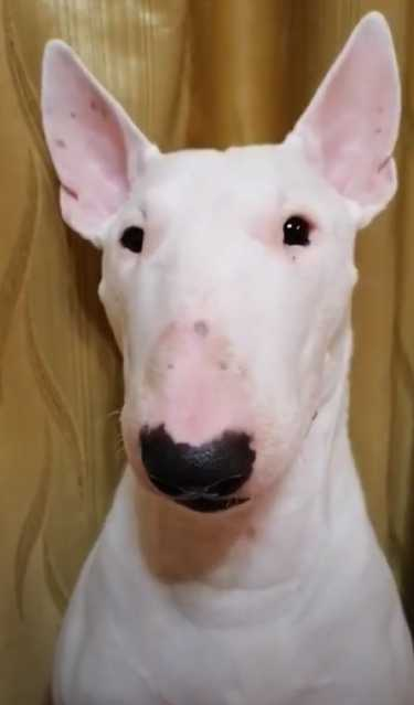 Adopting an older bull terrier from a rescue shelter