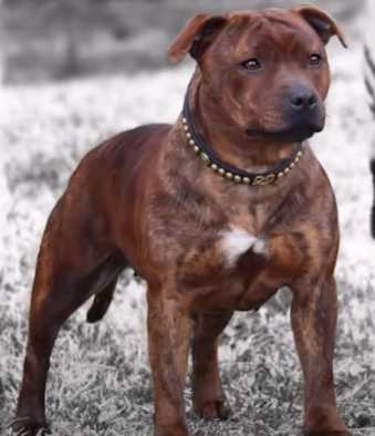 Staffordshire Bull Terrier is a powerful dog, both in its physique and in the strength of its character