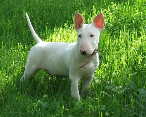 You can adopt an adult Bull Terrier at a breeder, not only puppies
