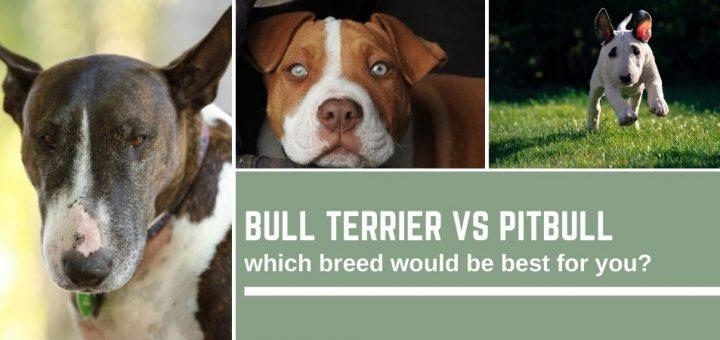 Bull Terrier vs Pitbull