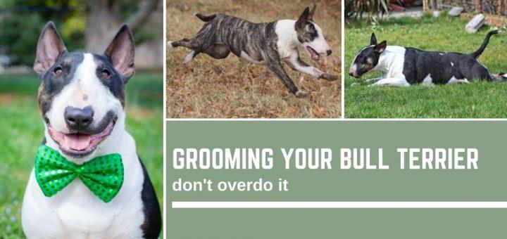 Grooming your bull terrier