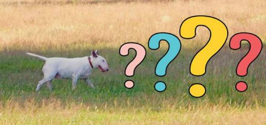 Bull terrier pros and cons