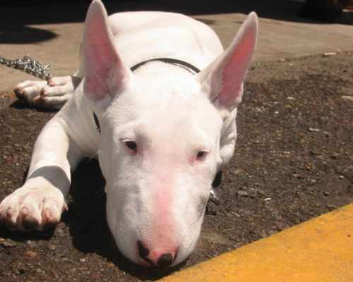 Bull terrier pros and cons: bull terriers are pretty easy to groom