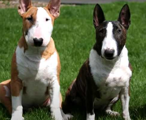 Bull terriers are great companions