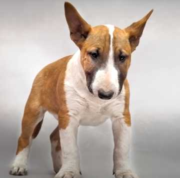 Both bull terrier and pitbull belong to the terrier family