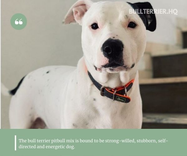 bullterrier pitbull mix is a strong, powerful dog of medium size