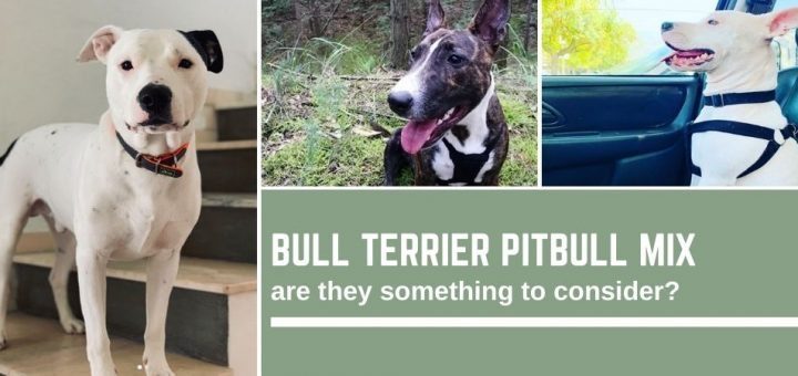 Bull terrier pitbull mix - are they something to consider?