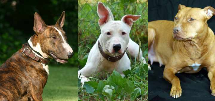 Bull terrier pitbull mix – are they something to consider?