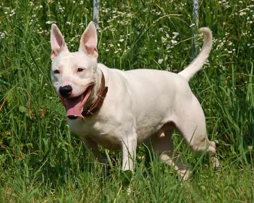 Bull terrier Pitbull Mix pup in grass