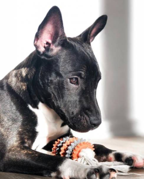 French Bull Terrier Adorable Mix That Will Melt Your Heart Bull Terrier Hq