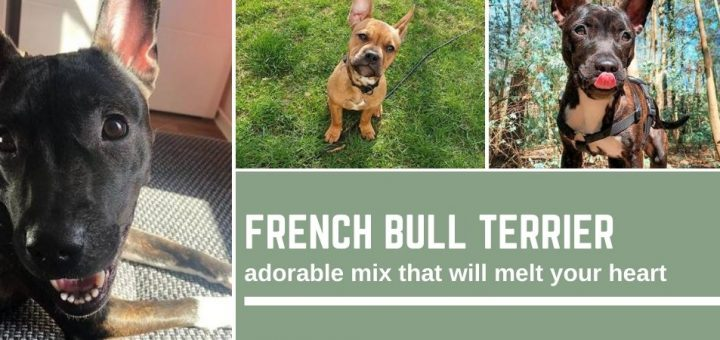 French Bull Terrier: adorable mix that will melt your heart
