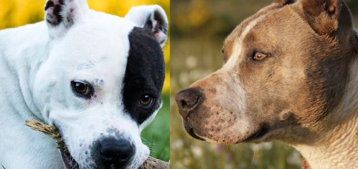 American Staffordshire Terrier vs Pitbull