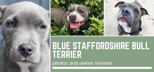 Blue Staffordshire Bull Terrier: photos and owner reviews
