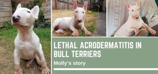Lethal Acrodermatitis in Bull Terriers