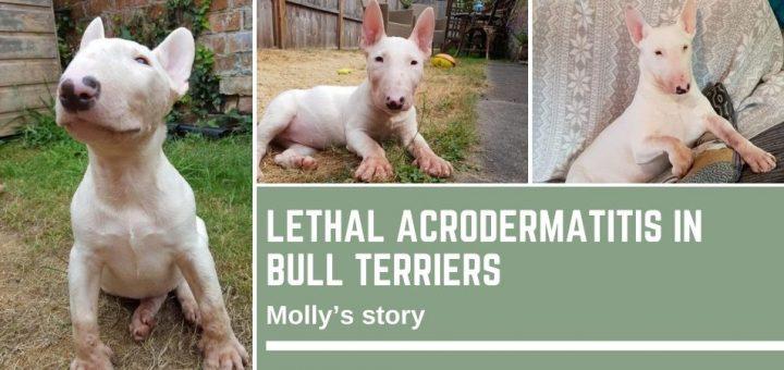Lethal Acrodermatitis in Bull Terriers
