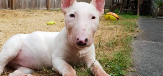 Lethal Acrodermatitis in Bull Terriers: Molly's story
