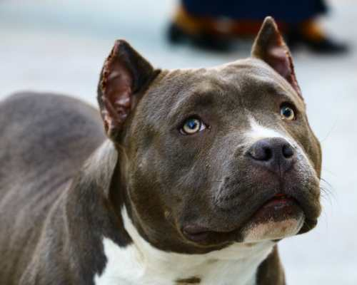 Pitbulls are considered one of the healthiest breeds out there