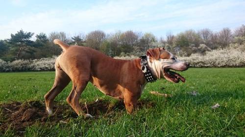 Aggression is a very touchy subject when it comes to American Staffordshire Terrier