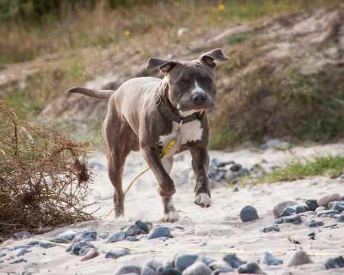 Amstaff temperament really depends on how you raise them