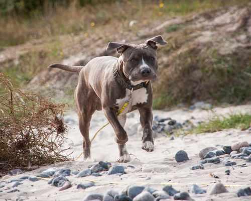 American Staffordshire Terrier vs Pitbull - Amstaff