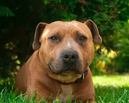 American Staffordshire Terrier temperament combines some of the best traits that a dog can have