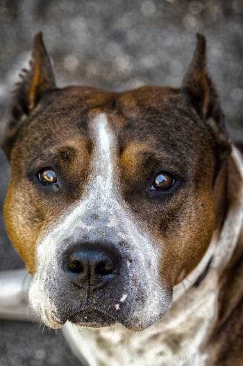 American Staffordshire Terrier is not the best dog for an inexperienced owner