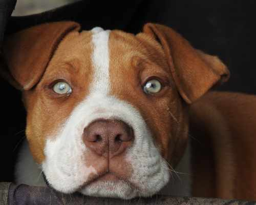 American Staffordshire Terrier vs Pitbull - Pitbull's eyes