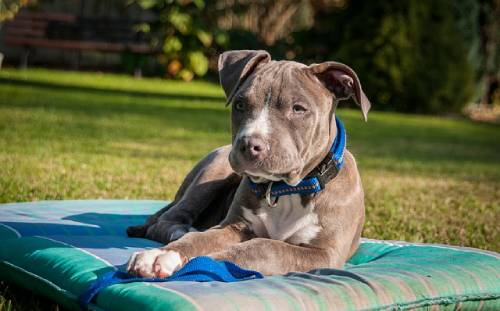 American Staffordshire Terrier has a strictly defined breed standard