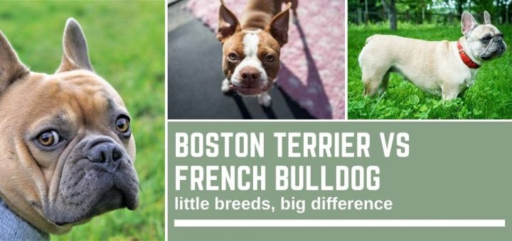 Boston Terrier vs French Bulldog: little breeds, big difference