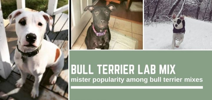 Bull Terrier Lab mix: mister popularity among bull terrier mixes