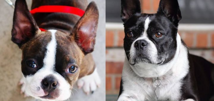 Boston terrier vs French Bulldog: little breeds with big differences
